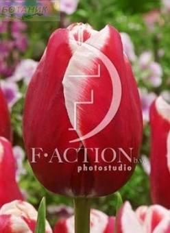 Тюльпан Колорадо Стар 10 шт