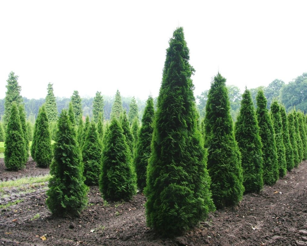 Туя Thuja occidentalis Columna